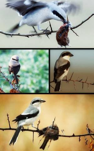 ღაჟო - უსასტიკესი ფრინველი