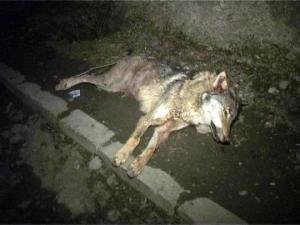 სიღნაღის სოფელ ტიბაანში მგელმა ორი ადამიანი დაკბინა - ცოფის საფრთხე ქიზიყში