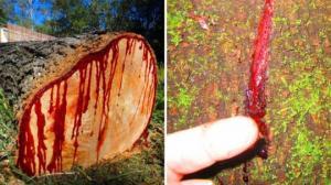 დრაგონი - ერთადერთი და უნიკალური ხე, რომელიც გახმობისას სისხლს გამოყოფს