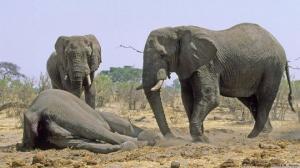 დაკრძალვის რიტუალი სპილოებში