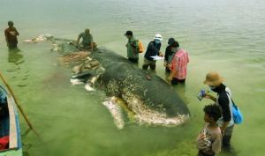 ის ჩვენი მსხვერპლია... ინდონეზიის სანაპიროზე მკვდარი ვეშაპი იპოვეს