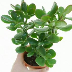 ალბათ, ეს მცენარე სახლში ყველას აქვს: მისი სწორად გამოყენება ისწავლეთ!