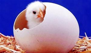 ქათამი თუ კვერცხი?  – პასუხი, რომელიც დამატებით განხილვას აღარ საჭიროებს