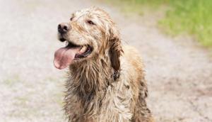 ძაღლმა 100 კილომეტრზე მეტი გაიარა, რათა ყოფილი პატრონისთვის ეკბინა