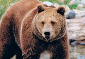 ტყეში დაკარგული სამი წლის ბიჭი დათვმა გადაარჩინა