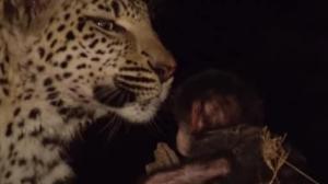 სენსაციური ვიდეო: ლეოპარდმა პატარა მაიმუნი იშვილა