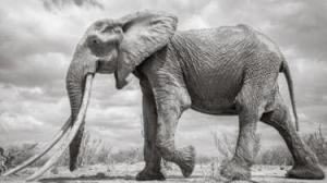 """კენიაში """"სპილოების დედოფალი"""" მოკვდა. მისი ეშვები მიწამდე აღწევდა"""