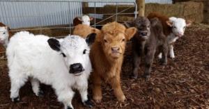 გინდოდათ გყოლოდათ შინაურ ცხოველად ძროხა?!