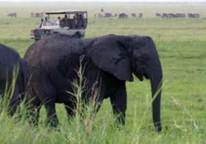 ბრაკონიერი, რომელიც სპილომ იმსხვერპლა, ლომების ლუკმა გახდა