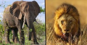 ბრაკონიერი მეგობრების თვალწინ ჯერ სპილომ გადათელა,შემდეგ კი ლომებმა შეჭამეს