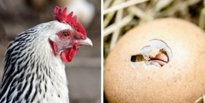 რომელი გაჩნდა  პირველად ქათამი თუ კვერცხი? - მეცნიერების პასუხი