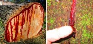 ქრისტეს სასწაული- ხე, რომელიც გახმობის მერე სისხლს გამოყოფს