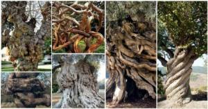 ხეები, რომლებიც ბუნების  უხილავმა ძალამ ურჩხულებად აქცია