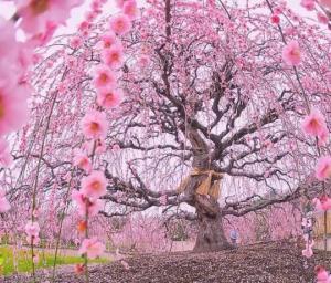 იაპონიის გაზაფხული ულამაზეს კადრებად - საკურას ვარდისფერი აფეთქება
