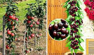 ახალი ტენდენცია მებაღეობაში —  «nano» ხეები (ხეხილის ჯუჯა ჯიშები) ბაღში და აივანზე