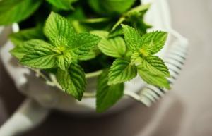 მცენარე, რომელიც ჯანმრთელობისთვის შეუცვლელია, პიტნის აქამდე უცნობი თვისებები