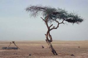 ყველაზე მარტოსული ხე მსოფლიოში