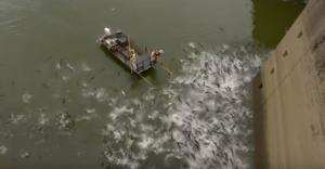 ასობით კობრი წყლიდან ამოხტა დენის დარტყმის გამო (ვიდეო)