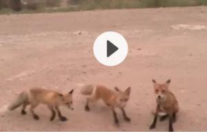 მშიერი მელიები ციმბირის დამწვარი ტყეებიდან ადამიანებთან გამორბიან (ვიდეო)