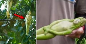ნარიფონის ხე - ხელოვნური თუ ბუნებრივი?
