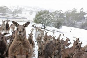 """""""კენგურუები შოკში არიან"""" - რატომ მოვიდა ავსტრალიაში თოვლი? (ვიდეო)"""