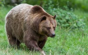 მამაკაცი საცოლის გადარჩენისთვის დათვს შეეჭიდა და დაიღუპა