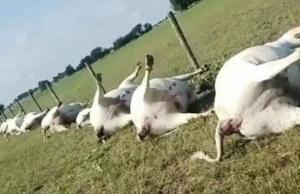 აშშ-ს შტატ ტეხასის  ერთ-ერთ ფერმაში ელვამ ერთიანად მოკლა 23 ძროხა, რომლებიც რკინის ღობესთან იდგნენ