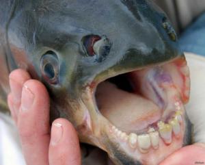ეს თევზი ადამიანის ორგანოებით იკვებება, განსაკუთრებით მამაკაცის გენიტალიებით