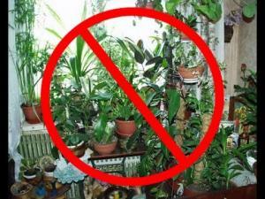 ჩუმი მკვლელი სახლში: რატომ არ შეიძლება ამ ყვავილების შენახვა ოთახში (ვიდეო)
