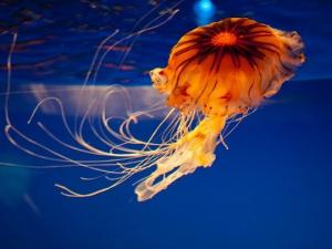არამიწიერი სილამაზე: მედუზას დღისთვის ამ წყალქვეშა ცხოველის საუკეთესო ფოტოები შეაგროვეს