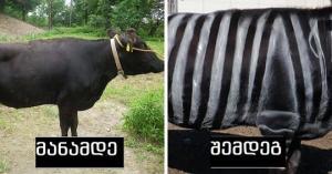 იაპონელებმა ძროხა ზებრასავით შეღებეს, რომ ბუზებს არ დაეკბინათ. ხრიკმა გაამართლა