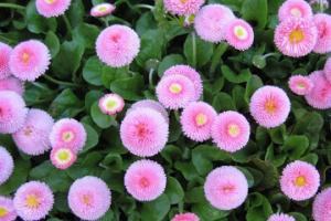 ღვთისმშობლის საყვარელი ყვავილი, რომელსაც სახლში ბედნიერება მოაქვს