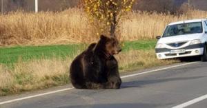 დათვების თავდასხმები რუმინეთში სიკვდილის შიშს იწვევს