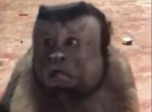 19 წელი  ქალის გარეშე: ზოოპარკში  კაცის სახიანი მაიმუნისთვის  ცოლს ეძებენ