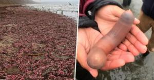 კალიფორნიის სანაპიროზე ათასობით თევზი-პენისი გამოირიყა