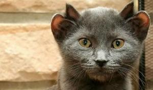 კატა ზედმეტი ყურებით