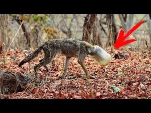 მგელი ხროვას გამოეყო და ადამიანებთან დახმარების სათხოვნელად მივიდა - კაცობრიობა ანადგურებს დედამიწას