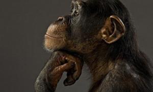 მაიმუნებს სხვის ადგილას თავის წარმოდგენა შეუძლიათ - ახალი კვლევა