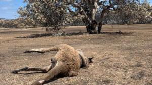 """ავსტრალიაში ხანძარია: """"აპოკალიპსი"""" კენგურუს კუნძულზე"""