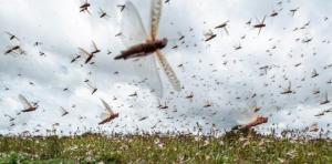 მსოფლიოს რამდენიმე ქვეყანაში კალიების შემოსევაა ( შემაშფოთებელი ფოტო და ვიდეო-მასალა)