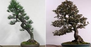 ასეც ხდება: ქურდებმა მოპარული ბონსაის ხეები ვაშინგტონის მუზეუმში დააბრუნეს