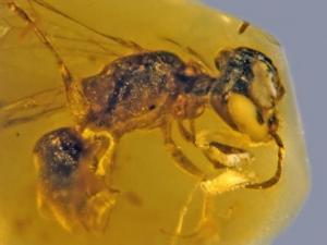 ქარვაში ნაპოვნი 100 მილიონი წლის ფუტკარი ყვავილის მტვრით დაფარული პირველი მწერია