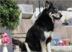 დაიღუპა ძაღლი, რომელმაც თერთმეტი წელი პატრონის საფლავზე გაატარა