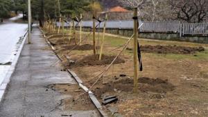 მცხეთაში 9 ძირი კანადური ნეკერჩხლის ხე გადატეხეს