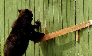 დათვმა მეტყევეს დახმარებისთვის მიმართა