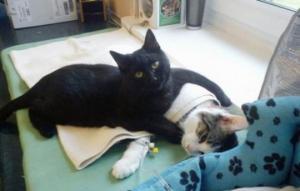 კატა განკურნების შემდეგ ვეტერინარულ კლინიკაში დარჩა და ,,მუშაობაც'' დაიწყო