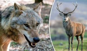 როგორ უნდა ვებრძოლოთ კორონავირუსს ანუ როგორი ირმები მიჰყავთ მგლებს