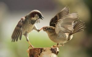 15 საინტერესო ფაქტი ბეღურებზე, რომელიც ცოტამ თუ იცის. «პატრიოტები», თუ «ზარმაცები» — რატომ არ მიფრინავენ ეს ფრინველები თბილ ქვეყნებში?