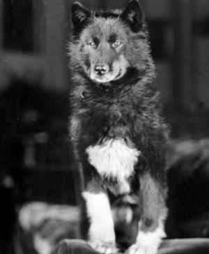 ბალტო - ნამდვილი ამბავი ძაღლზე, რომელმაც ქალაქი ეპიდემიისგან იხსნა