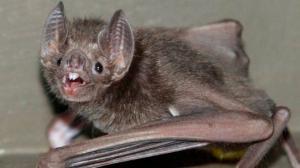 ღამურებს  6 სახეობის კორონავირუსი აღმოუჩინეს